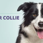 Border Collie: o cão mais inteligente do mundo