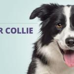 Border Collie: o cão mais inteligente do mundo
