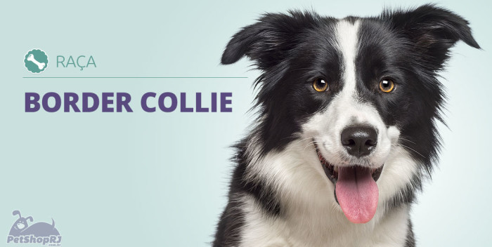 Border Collie O Cão Mais Inteligente Do Mundo Pet Shop Rj