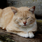 Doença cardíaca em felinos tem sintomas tardios
