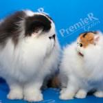 Expo Internacional de Gatos ocorre esse fim de semana