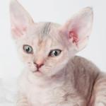O exótico gato pelado canadense
