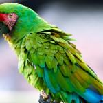 Papagaios saudáveis podem viver até 40 anos