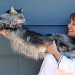 Maine Coon: a raça dos maiores gatos do mundo