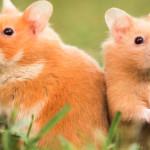 Dócil e fácil de criar: conheça o Hamster Sírio
