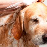Banho terapêutico auxilia no tratamento de dermatites em cães e gatos