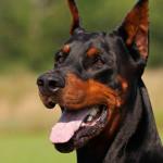 Dócil e excelente cão de guarda: conheça o Dobermann