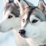 Husky Siberiano: o cão aventureiro