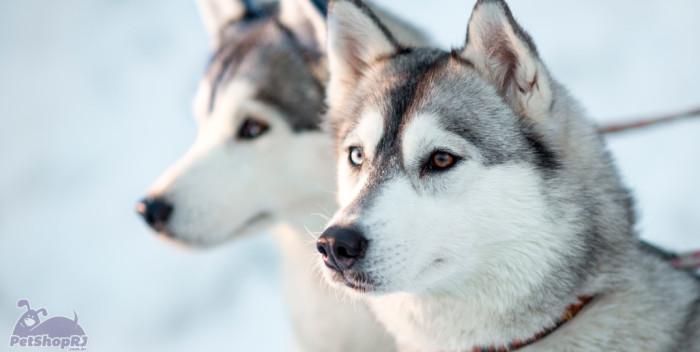 Husky Frases: Husky Siberiano: O Cão Aventureiro