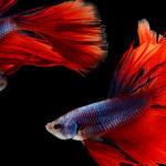 Peixinho bom de briga: conheça o Betta