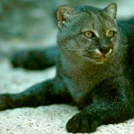 Rápido e individualista: conheça o Gato-mourisco