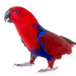 Automutilação em aves domésticas