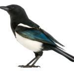 Aves leem da esquerda para a direita