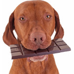 Chocolate pode causar intoxicação nos pets