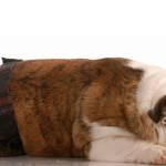 Gatas e cadelas podem ter gravidez psicológica