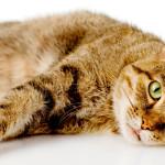 Gatos são predispostos a anorexia