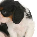 Hérnia de disco canina
