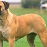 Mastiff Inglês: o maior e mais pesado cão do mundo