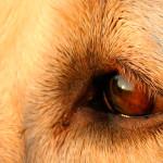 Problemas de visão atingem cachorros de todas as idades