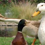 Andam, nadam e voam: conheça os patos domésticos
