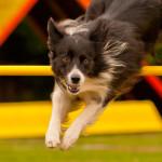 Exercite seu cão: conheça o Agility