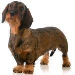Saiba mais sobre a Diabetes Mellitus Canina