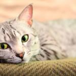 Saiba mais sobre a Doença do Trato Urinário Inferior Felino