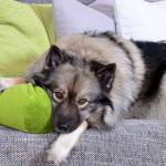 Saiba mais sobre a Piometra em cadelas