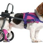 Ser diferente é normal: saiba mais sobre a deficiência física em cães