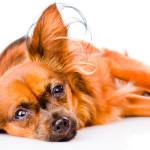 Sopro cardíaco causa indisposição em cães de todas as idades