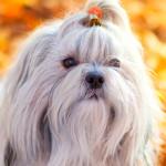 Cães com pelagem branca precisam de cuidado extra