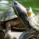 Calmos e práticos: saiba mais sobre as tartarugas