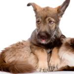 Hemobartonelose: doença sanguínea ataca cães e gatos