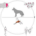 Leishmaniose: doença infecciosa pode atingir animais e humanos