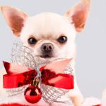 Pequenos grandes companheiros: saiba mais sobre os Chihuahuas