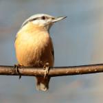 Pássaros: mudança de plumagem exige atenção