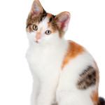 Síndrome urológica: uma ameaça para os gatos