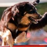 Agility, um esporte bom para cachorro