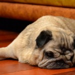 Câncer testicular: ameaça para animais mais velhos