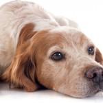 Fique atento à velhice do seu cão