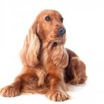 Cocker Spaniel Inglês: um cão muito apegado