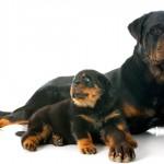 O que é cachorro com pedigree?