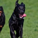 Os 10 cachorros mais inteligentes