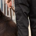 O duro treinamento para cães farejadores