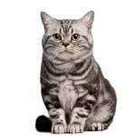 Brazilian Shorthair: gato genuinamente brasileiro