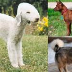 Cães raros na telinha da televisão