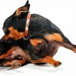 Cuidados para evitar que as pulgas ataquem o seu pet