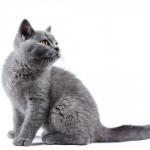 Azul Russo: um gato sensível e muito brincalhão
