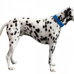 Dálmata: um cão para mil e uma aventuras
