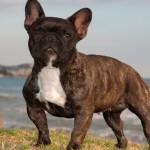 Pequenas, grandes raças de cães